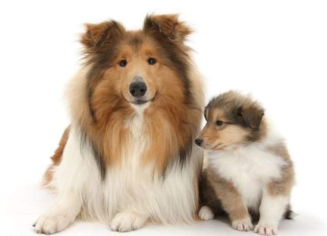 Шотландская овчарка – щенок и взрослая собака