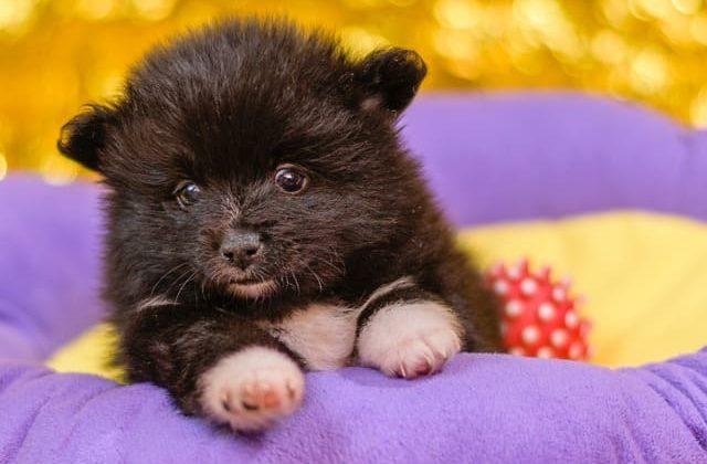 Шпиц медвежьего типа – черный щенок