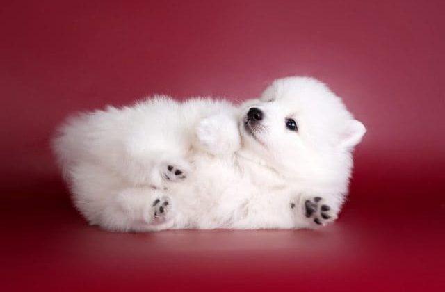 Шпиц японский – щенок