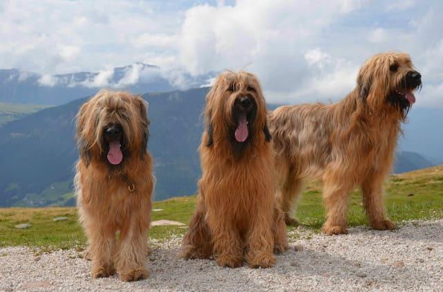 Взрослые собаки породы бриарская овчарка