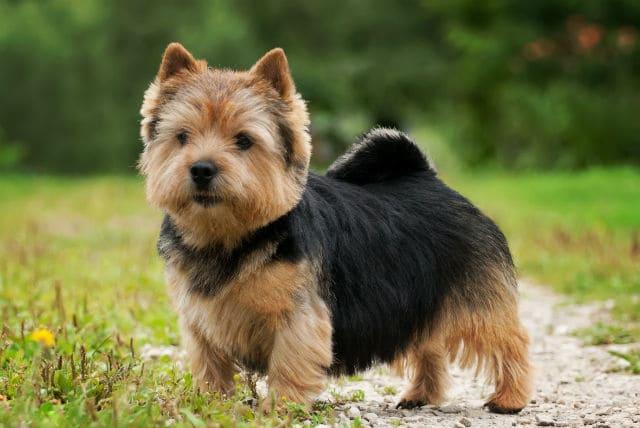 Собака норвич-терьер – стандарт внешнего вида