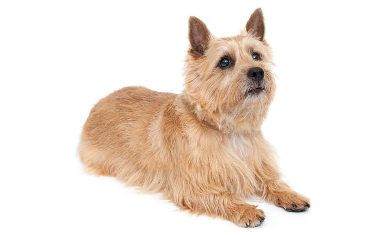 Собака породы норвич-терьер
