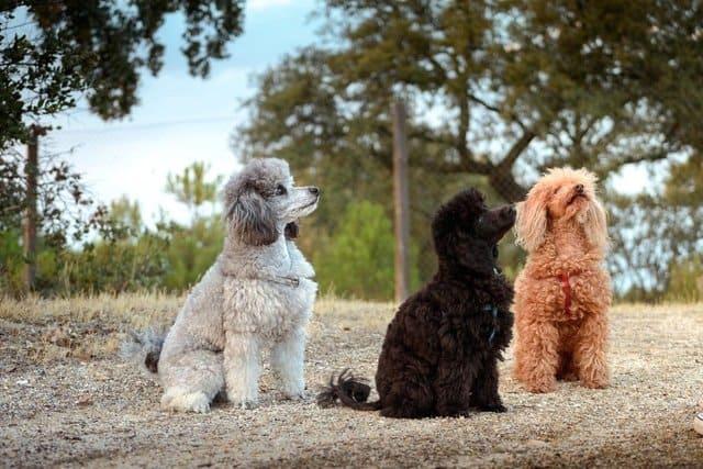 Три пуделя на прогулке