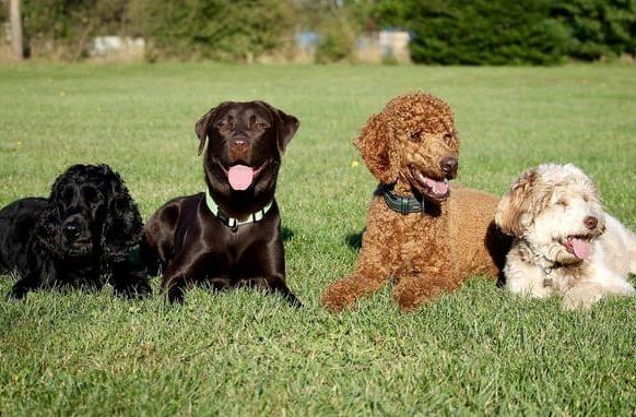 Пудель в компании собак
