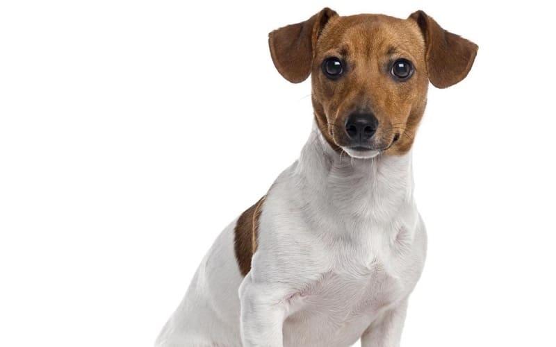 Собака рассел-терьер – главное фото