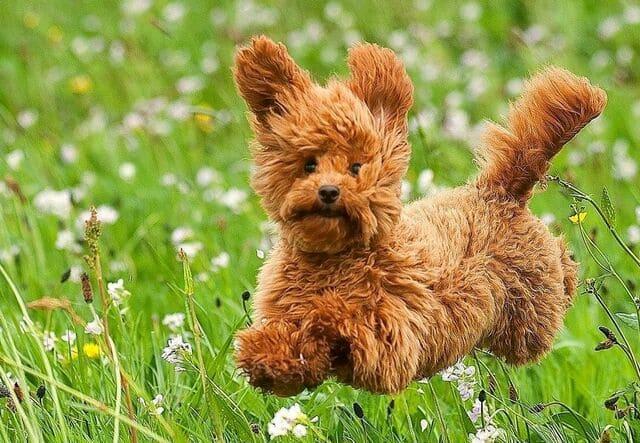 Собака той пудель – декоративная порода