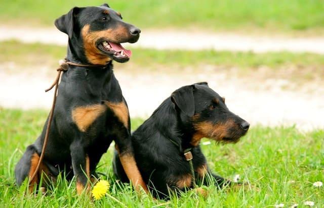 Собаки немецкой породы – ягдтерьер