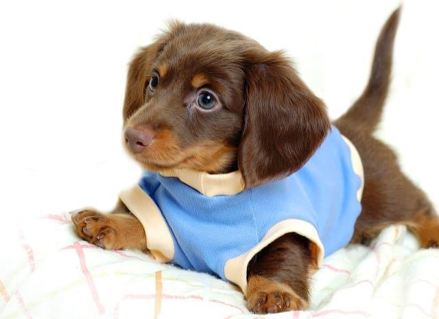 Такса щенок – уход и содержание