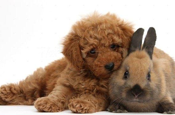 Той пудель и кролик