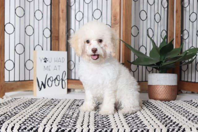 Той пудель – собачка с белой шерстью