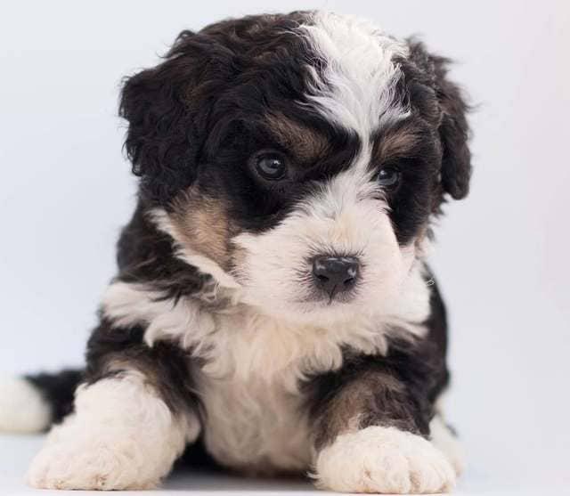 Той пудель – щенок