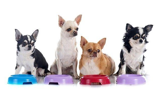 Уход за чихуахуа – кормление собаки