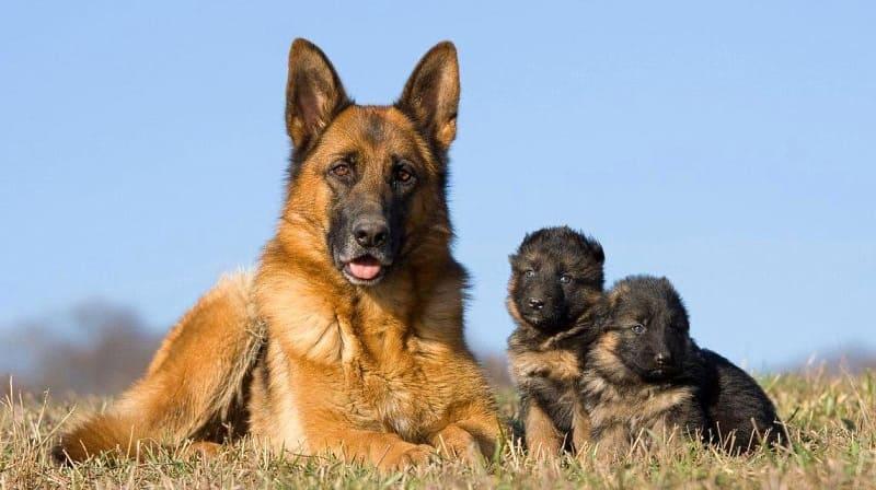 Немецкая овчарка с щенками