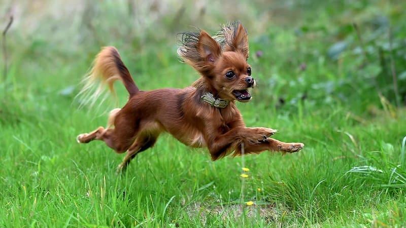 Собака тойтерьер в прыжке