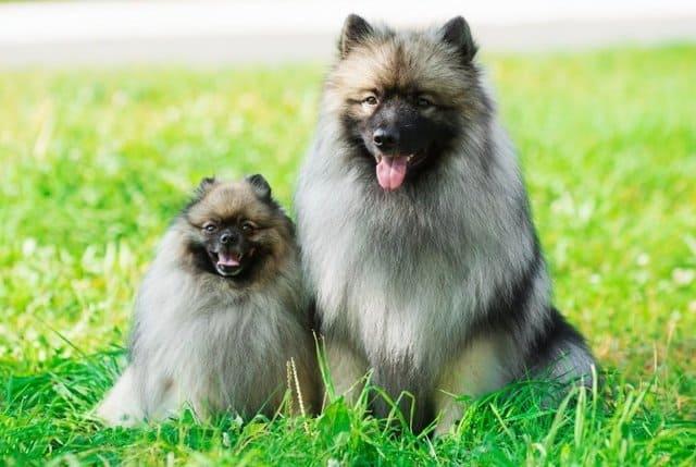 Вольфшпиц (кеесхонд) – немецкая порода собак