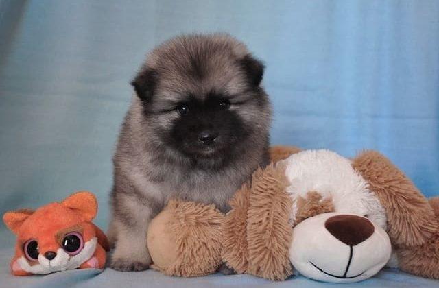 Вольфшпиц кеесхонд – щенок с игрушками