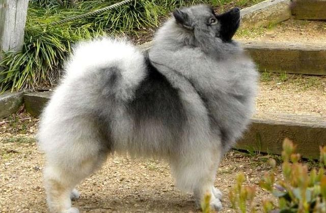 Вольфшпиц кеесхонд – собака во весь рост