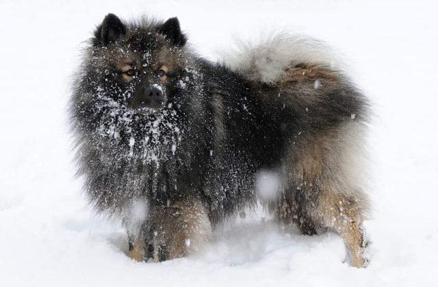 Вольфшпиц кеесхонд – зимняя прогулка