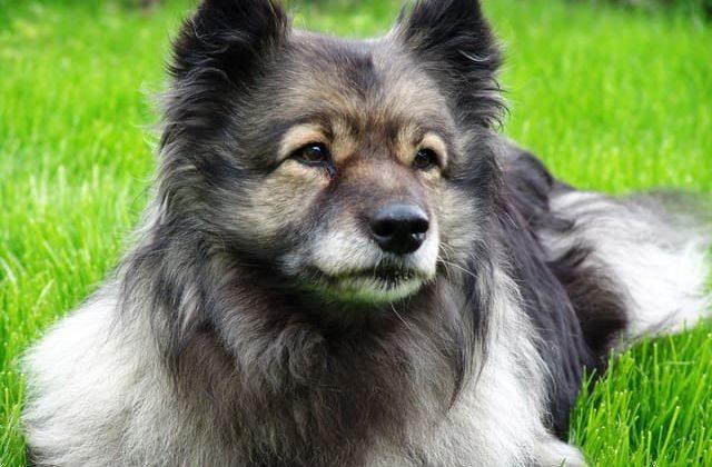 Вольфшпиц кеесхонд – очень красивый пес