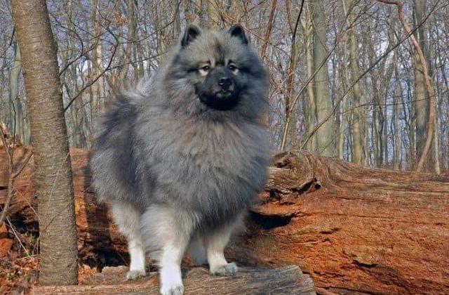 Вольфшпиц кеесхонд – прогулка в лесу
