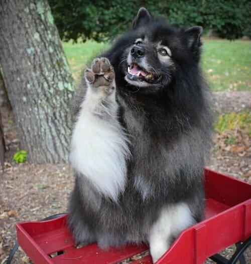 Вольфшпиц кеесхонд – очень добрая собака