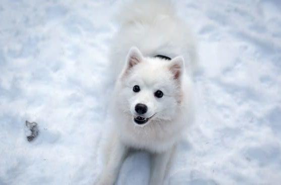 Японский шпиц лежит на снегу