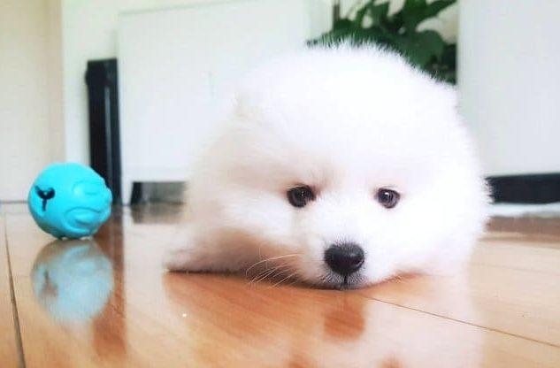 Японский шпиц – щенок лежит на полу