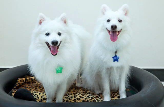 Две собаки породы японский шпиц