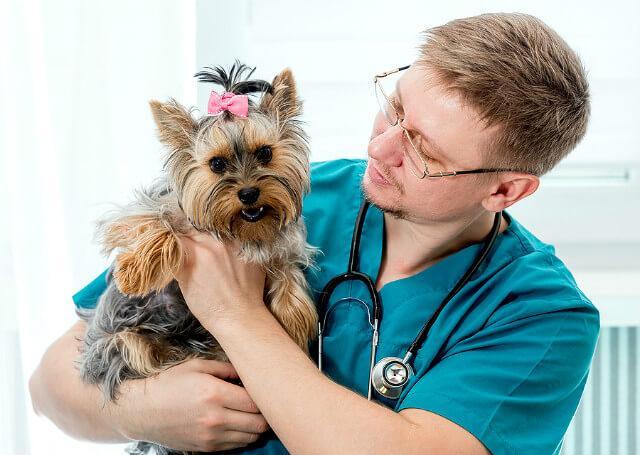 Аллергия на йорка – профилактический осмотр собаки ветеринаром