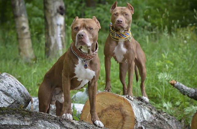 Топ-10 самых сильных собак – американский питбультерьер