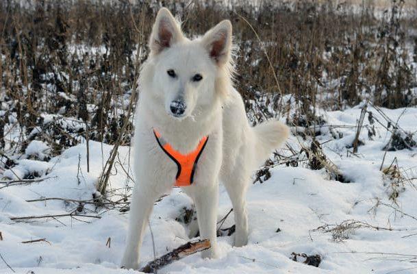 Белая швейцарская овчарка – зимняя прогулка