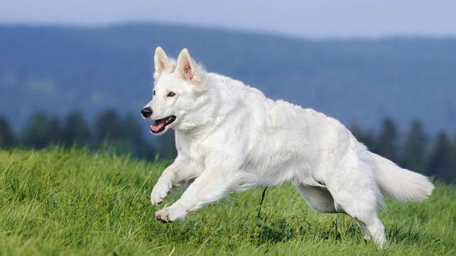 Белая швейцарская овчарка – внешний вид