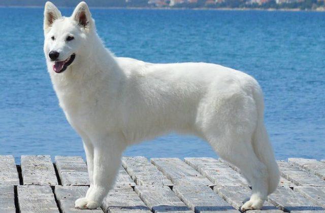 Белая швейцарская овчарка – внешний вид собаки