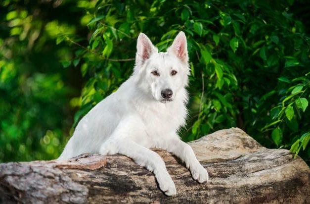 Белая швейцарская овчарка – вид спереди