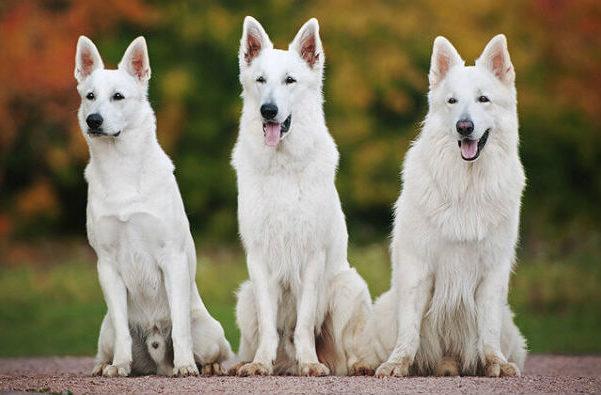 Белая швейцарская овчарка – короткошерстная и длинношерстная