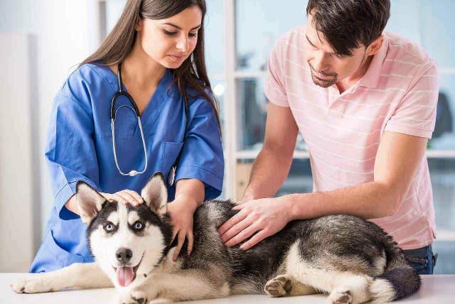 Роды хаски – помощь ветеринара