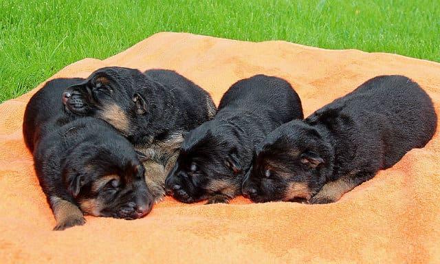 Беременность и роды у немецкой овчарки – новорожденные щенки