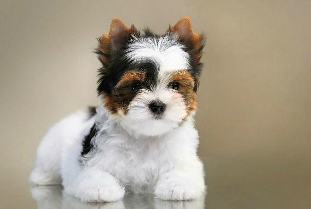 Бивер йорк – щенок
