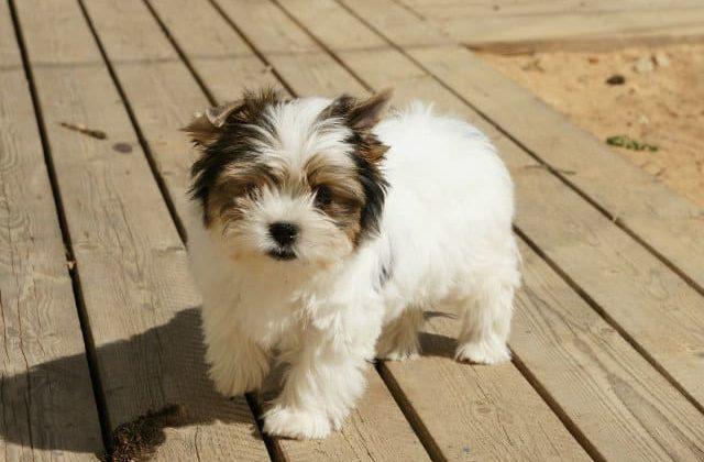 Бивер йорк – собака-щенок
