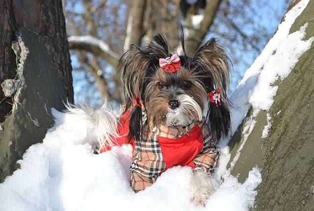 Бивер йорк – зимняя прогулка