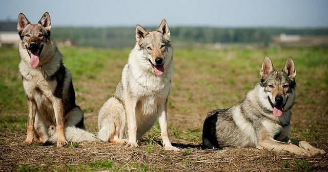 Собака породы чехословацкий волчак