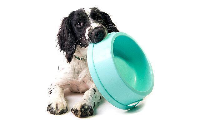 Чем кормить русского спаниеля – меню для щенка