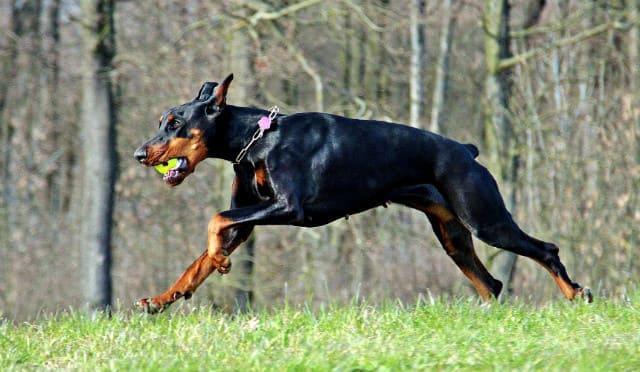 Топ-10 самых сильных собак – доберман