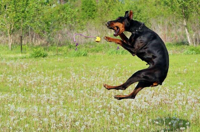 Дрессировка добермана – прыжок