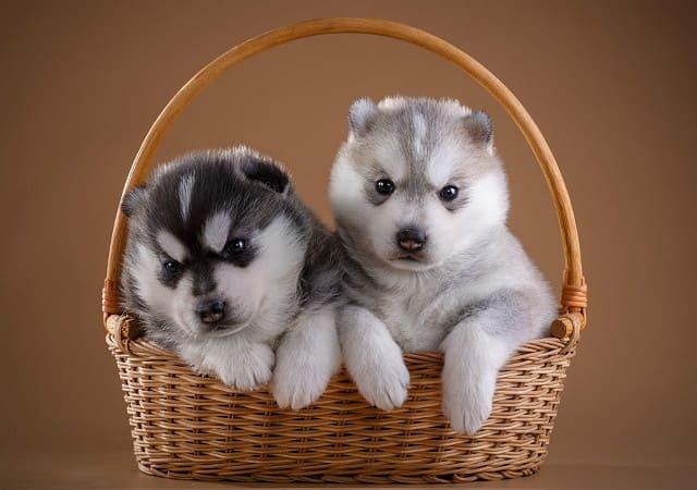 Порода хаски – щенки