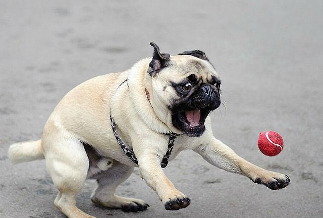 Как ухаживать за мопсом – игра с мячиком