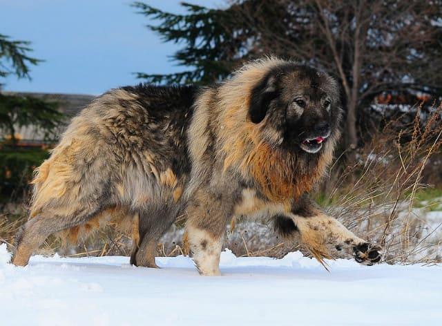 Собака породы кавказская овчарка