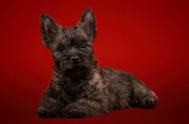 Керн-терьер – щенок темного окраса