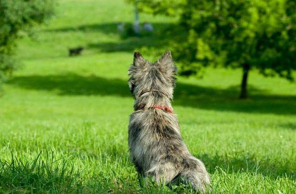 Керн-терьер на зеленой лужайке