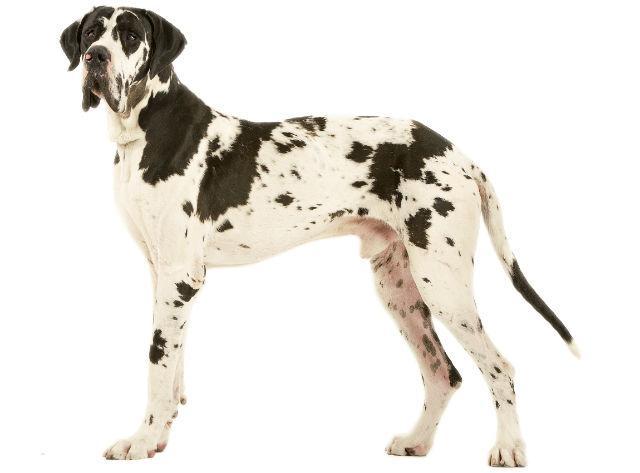 Топ-10 самых сильных собак – немецкий дог